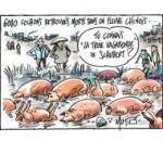 Scandale sanitaire en Chine : sur la piste des cochons morts